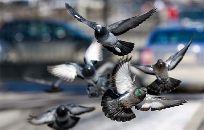 Чому голуби літають парами?