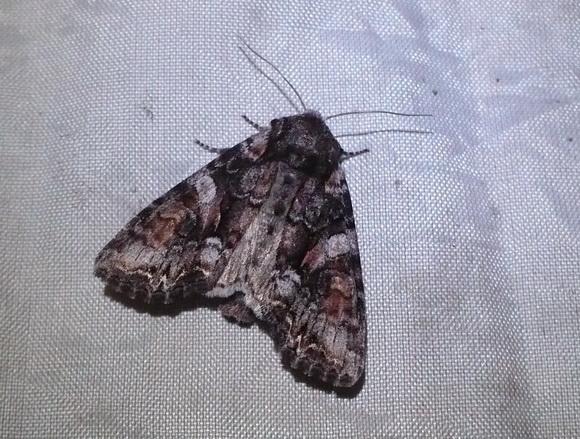 Таємна комунікація нічних метеликів